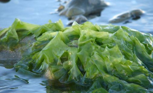 Researchers Looking at Properties of Seaweed in Fight Against Diseases