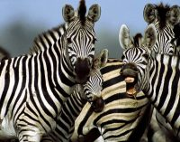 Research shows zebra markings act like bug repellent