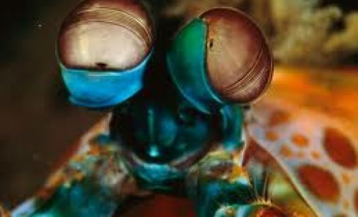 Mantis shrimp eyes inspiring new cancer-detecting cameras