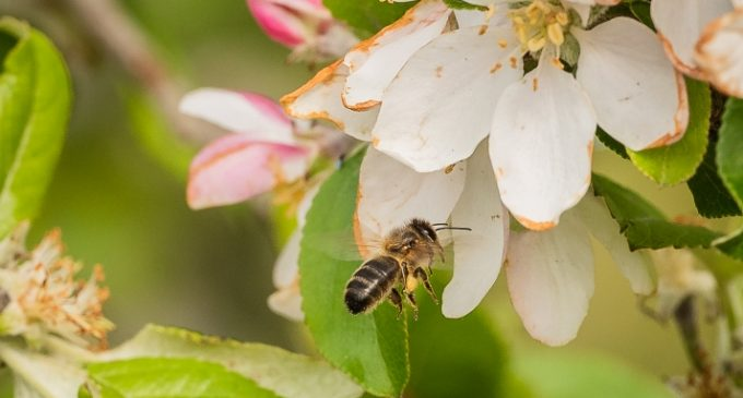 New Partnership to Save Bees and Increase Global Crop Production