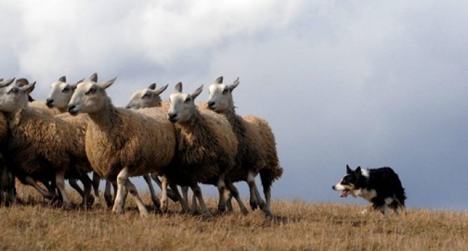 Robots could replace sheepdogs after scientists learn herding secrets